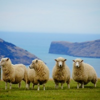Sheep at NZ coast