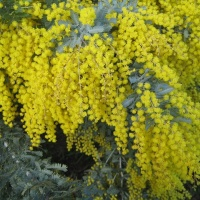 Golden Wattle, national flower emblem, national colours, Australia