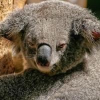 Koala, marsupial