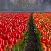 Tulipe fields
