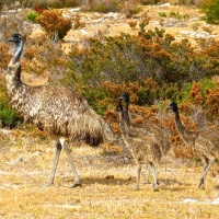 Emus, flightless