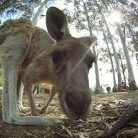 Kangaroo, marsupial